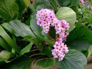 Как посадить цветок бадан