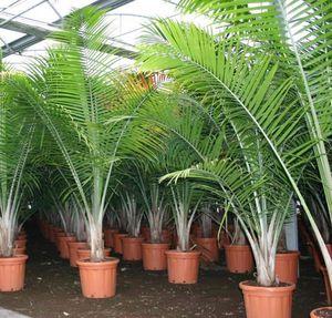 Виды популярных комнатных пальм
