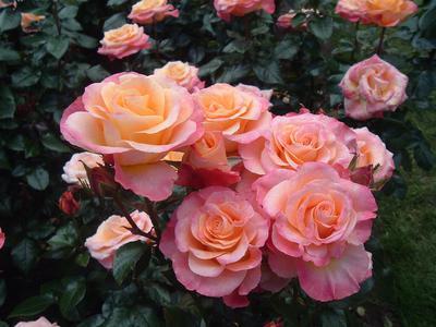 Как ухаживать за розами весной в саду