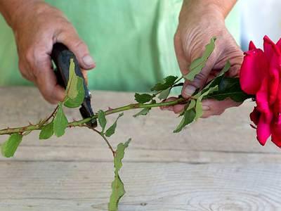 Как размножить розу плетистую черенками — Цветы365