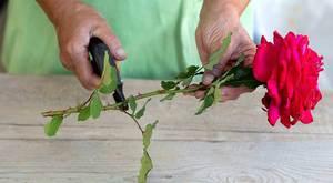 Размножение роз черенками осенью в домашних условиях