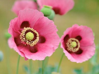 Мак цветок для детей