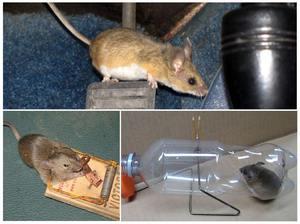 Народными средствами избавиться от мышей