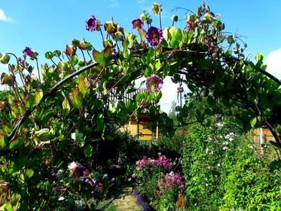 Кобея выращивание из семян в домашних условиях Посадка и уход в открытом грунте Кобея лазающая фото цветов