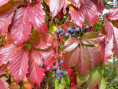 Девичий виноград виргинский