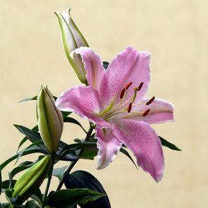 Гибридные виды лилии