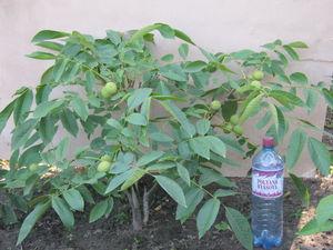 Посадка в саду грецкого ореха