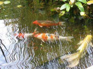Каких рыб можно разводить в пруду