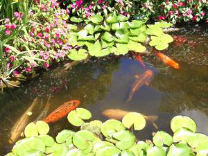Разведение рыбы в прудах