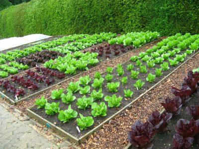 Метод посадки по митлайдеру расстояние между растениями. Как обустроить огород по митлайдеру и вырастить по-настоящему богатырские овощи