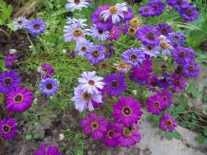 Однолетки цветы для дачи