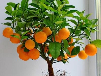 Как вырастить мандарин из косточки в домашних условиях