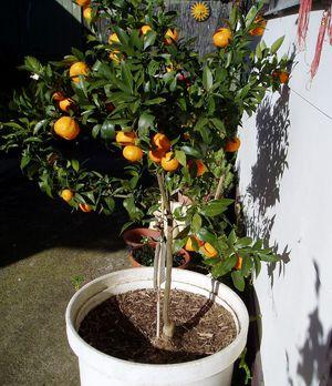 Как посадить мандарины в домашних условиях