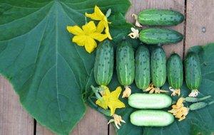 Особенности выбора семян огурцов самоопыляемых для теплицы