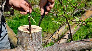 Как делать прививки на плодовых деревьях