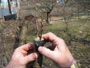 Весенняя прививка плодовых деревьев