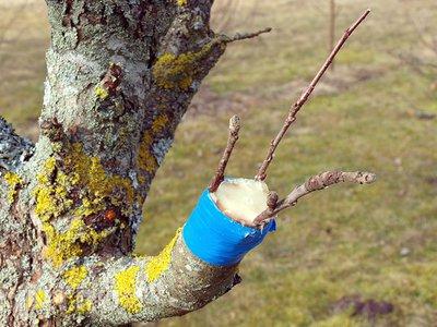 Как прививать плодовые деревья  лучшие способы