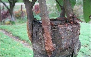 Колировка деревьев