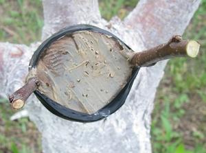 Как сделать прививку на плодовых деревьях