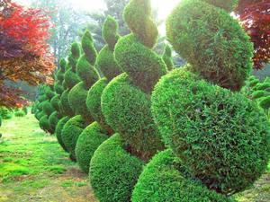 Как обрезать хвойные растения