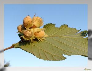 Деревья орехов - орех фундук