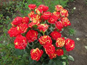 Выращивание сорта роз спрей
