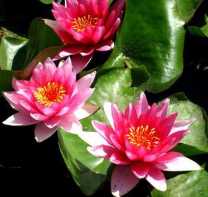 Как подобрать водное растение для пруда