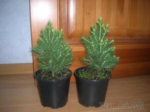 Земля для выращивания елки