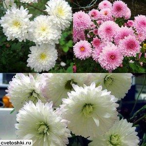 Особенности посадки хризантем