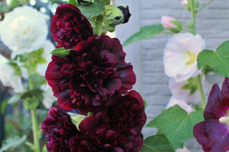 Как вырастить розу и шток розу из семян в домашних