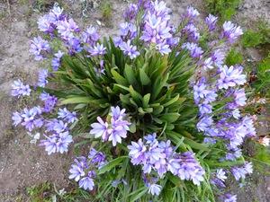 Как растет растение бабиана