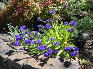 Цветение бабианы