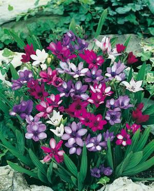Характеристика цветка бабиана