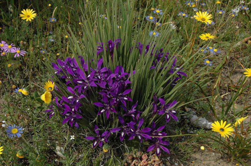 Цветок бабиана